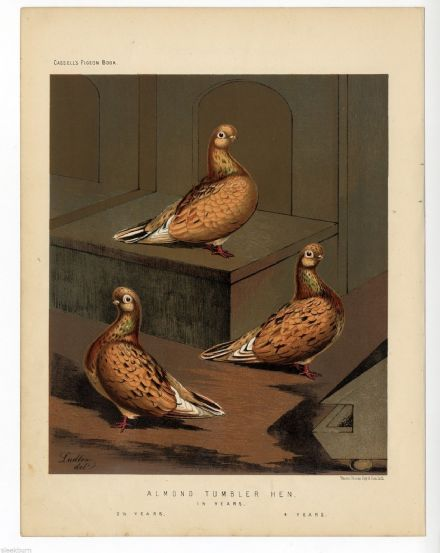 1875 c Antique Colour Print PIGEONS ALMOND TUMBLER HEN  by J. W. Ludlow